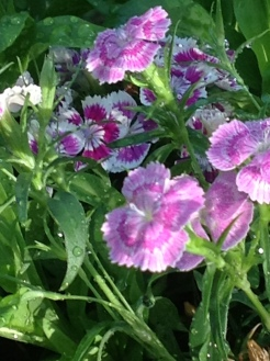 Pink Striped Flower 1