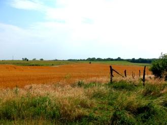 Wheatfield 2